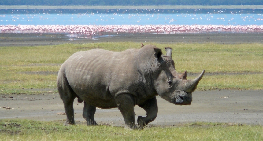 white-rhino.jpg